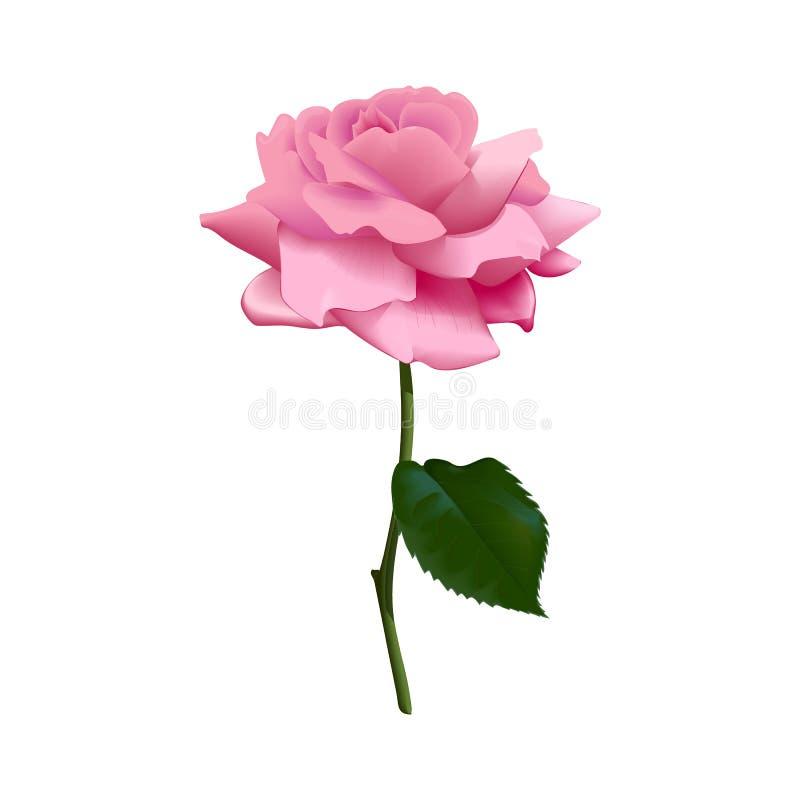 Il bello rosa porpora è aumentato isolato su fondo bianco Illustrazione di vettore Isolato Fiore, gambo, foglia illustrazione vettoriale