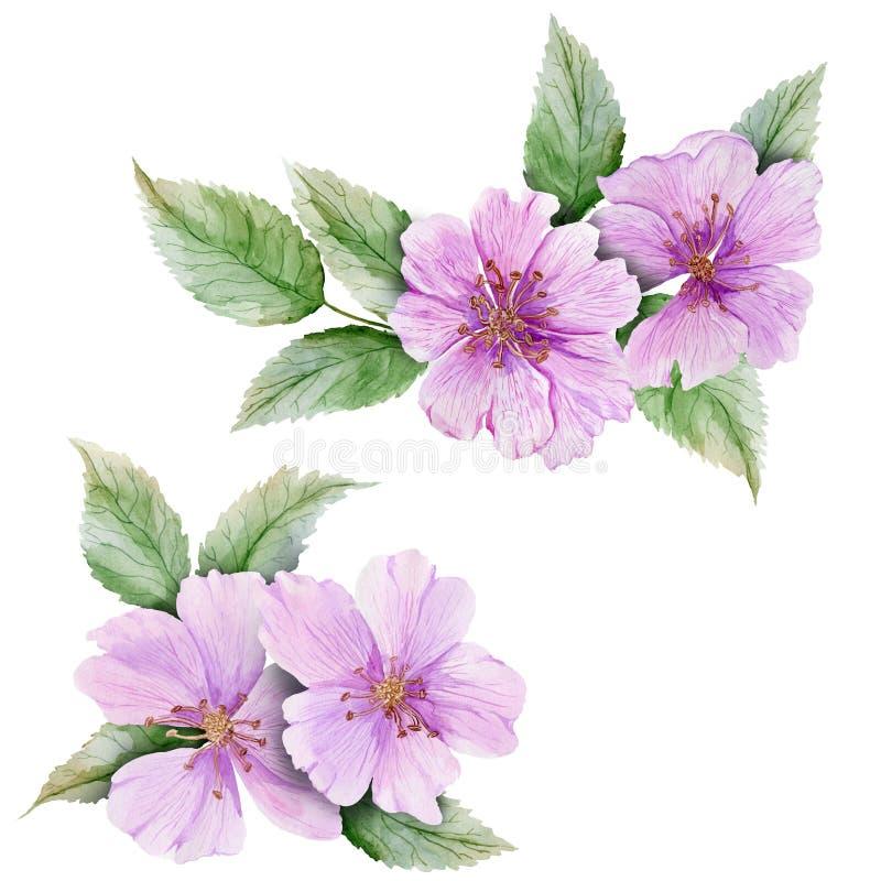 Il bello rovo botanico di rosa dell'insieme fiorisce con le foglie Ramoscelli del cinorrodo ed isolato su fondo bianco Pittura de illustrazione di stock