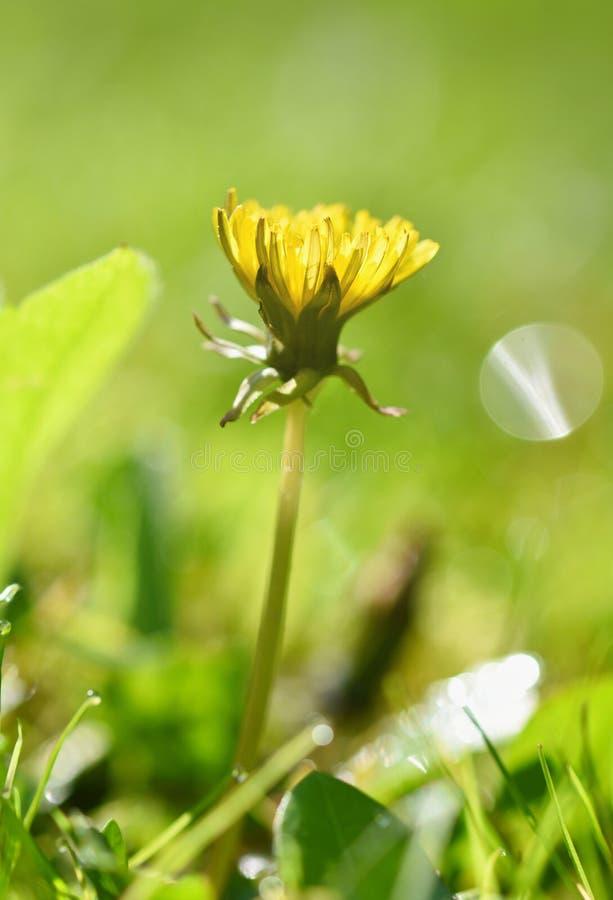 Il bello sfondo naturale di erba verde ed il dente di leone fioriscono con il sole primavera Concetto stagionale per la molla e l immagine stock