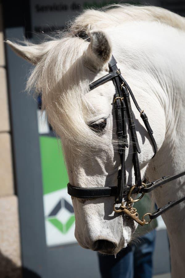 Il bello stallone arabo bianco, si chiude sulla vista fotografia stock