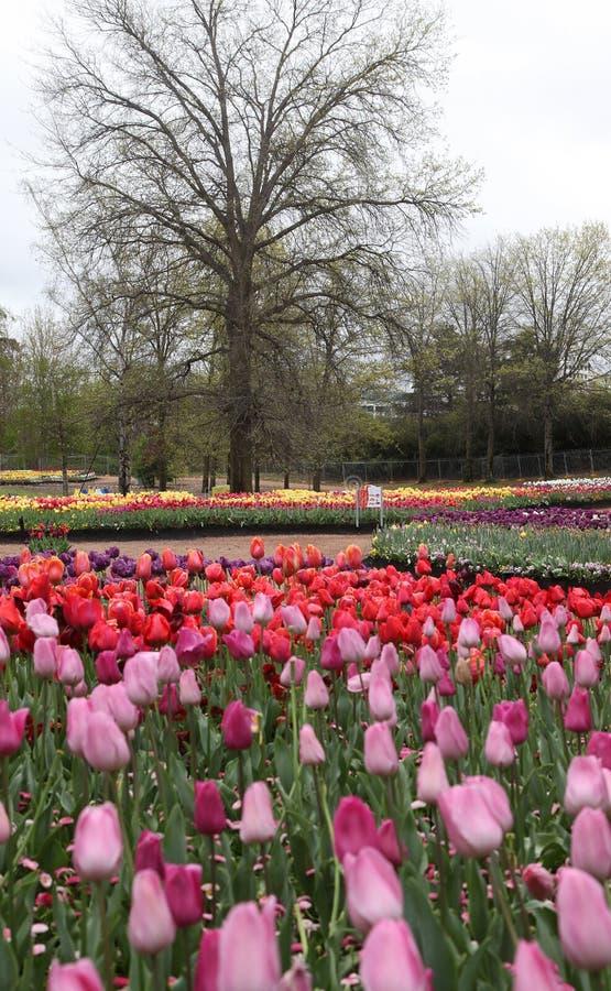 Il bello tulipano variopinto fiorisce Floriade immagini stock libere da diritti