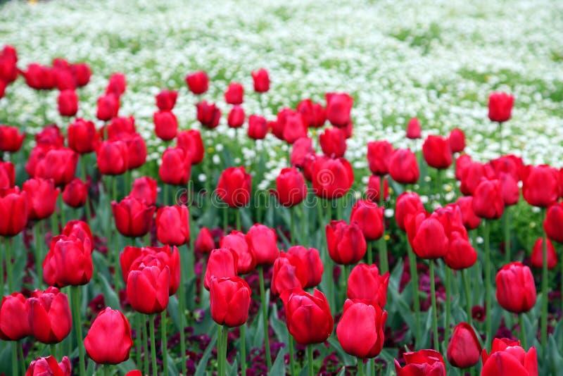 Il bello tulipano variopinto fiorisce Floriade fotografia stock