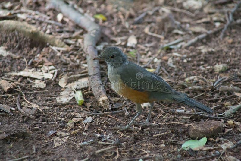 Il bello uccello che cammina nella foresta sta cercando l'alimento immagini stock libere da diritti