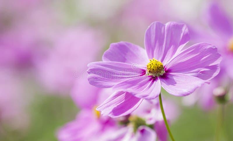 Il bello universo fiorisce il colore rosa morbido fotografia stock