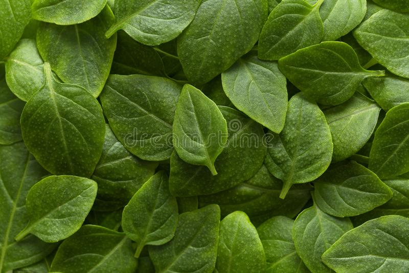 Il bello verde lascia la priorità bassa Copre di foglie la struttura, struttura della pianta verde, basilico lascia il fondo immagini stock