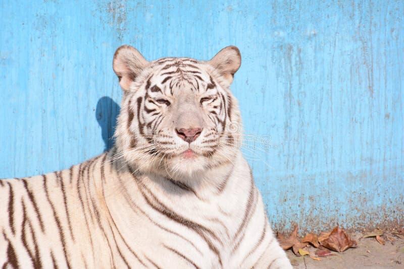 Il Bengala o tigre indiana fotografia stock