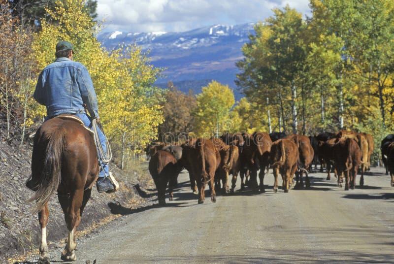 Il bestiame guida sul girl-scout Road, Ridgeway, CO immagini stock