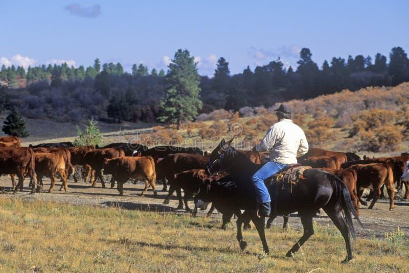 Il bestiame guida sul girl-scout Road, Ridgeway, CO fotografie stock libere da diritti