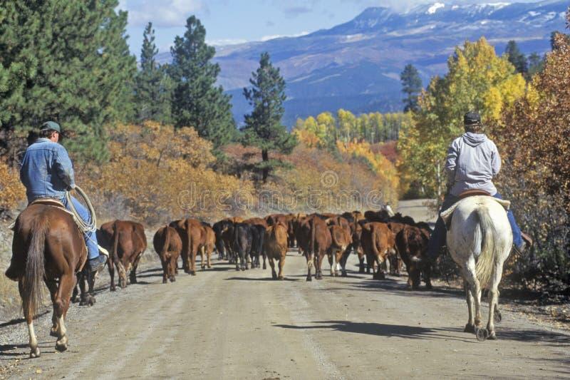 Il bestiame guida sul girl-scout Road, Ridgeway, CO fotografia stock