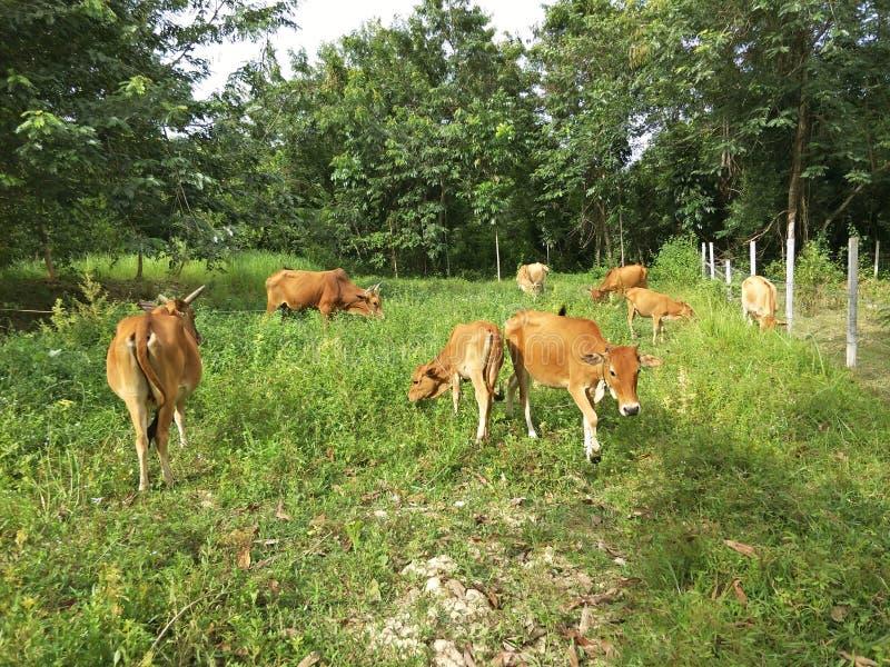 Il bestiame indigeno sta pascendo immagine stock
