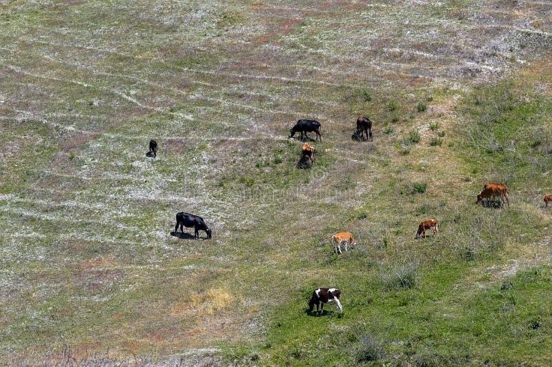 Il bestiame si è riunito su una montagna immagini stock libere da diritti