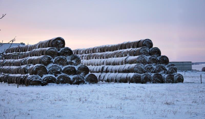 Il bestiame si alimenta vicino all'azienda agricola nell'inverno immagini stock