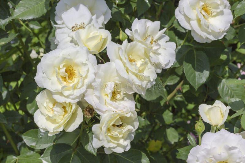 Il bianco è aumentato germogli fra le foglie verdi fotografie stock