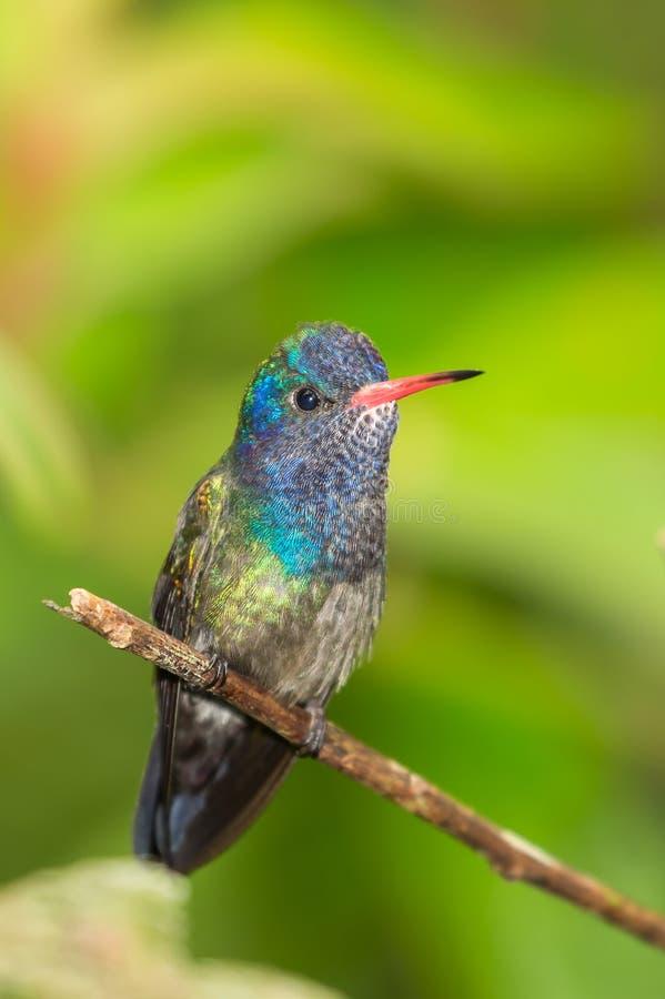 Il bianco chinned il colibrì dello zaffiro appollaiato sul ramoscello fotografia stock libera da diritti
