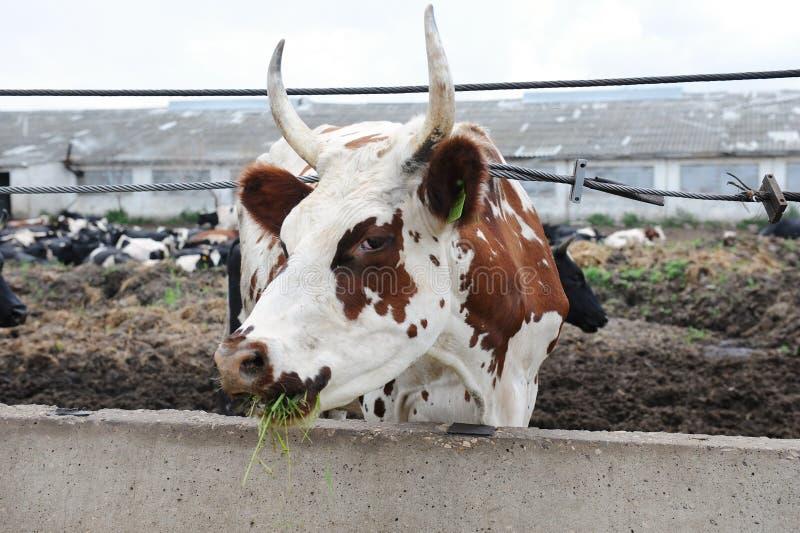 Il bianco con la mucca di mungitura rossa marrone dei punti mangia si alimenta l'azienda agricola della mucca immagini stock