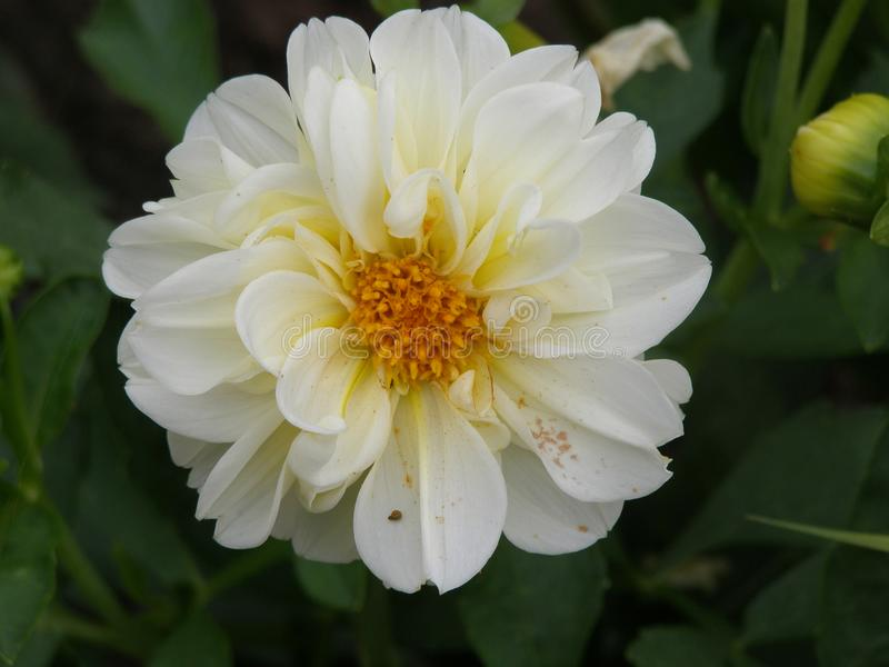 Il bianco con una dalia concentrare gialla è un fiore, famoso per bellezza dell'abbagliamento, eccita la passione e spinge sugli  immagini stock
