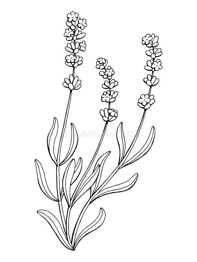 Il bianco del nero di arte grafica del fiore della lavanda ha isolato l'illustrazione illustrazione vettoriale