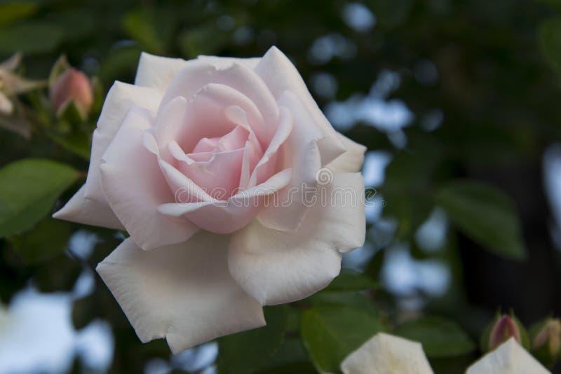 Download Il Bianco Elegante Classico Fotografia Stock - Immagine di verde, elegante: 117980398