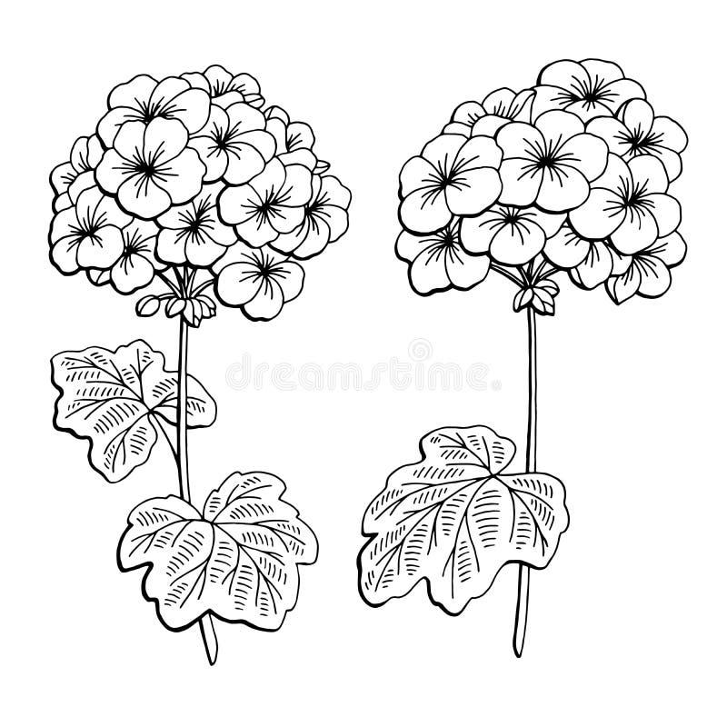 Il bianco nero grafico del fiore del geranio ha isolato l'illustrazione di schizzo illustrazione di stock