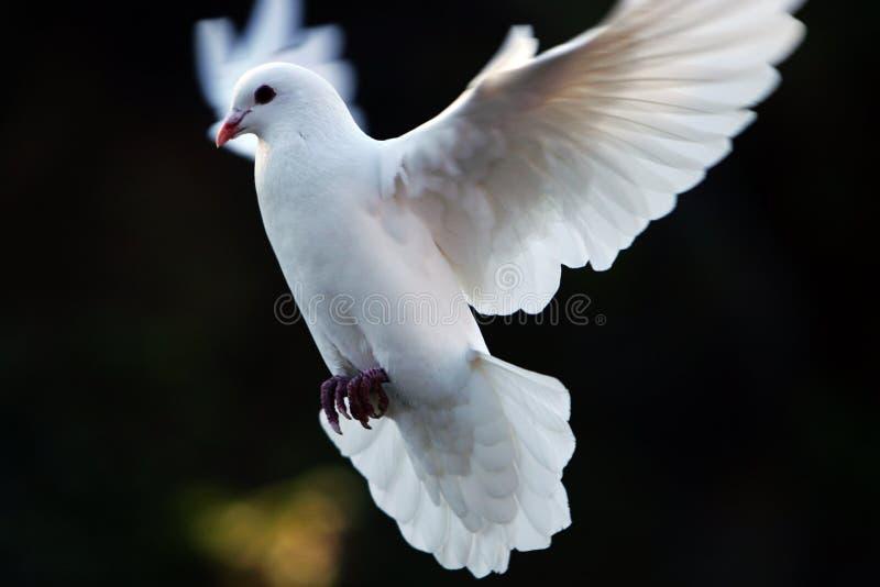 Il bianco si è tuffato durante il volo immagine stock