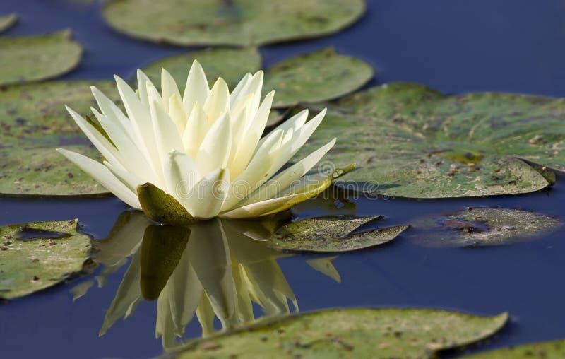Il bianco waterlily ha riflesso in acque blu scuro immagine stock