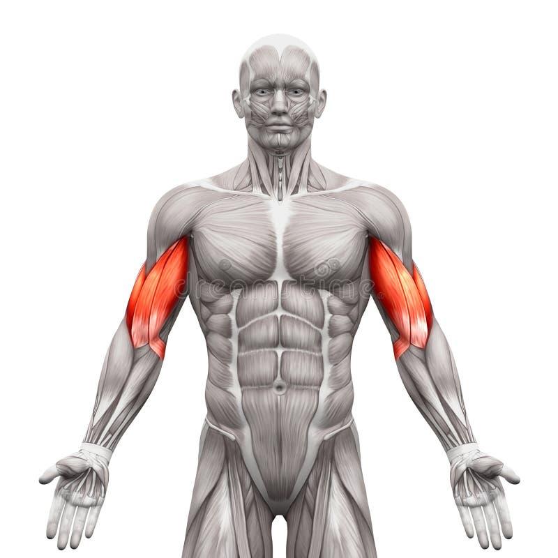 Il bicipite Muscles - i muscoli dell'anatomia isolati sul illustra bianco- 3D illustrazione di stock