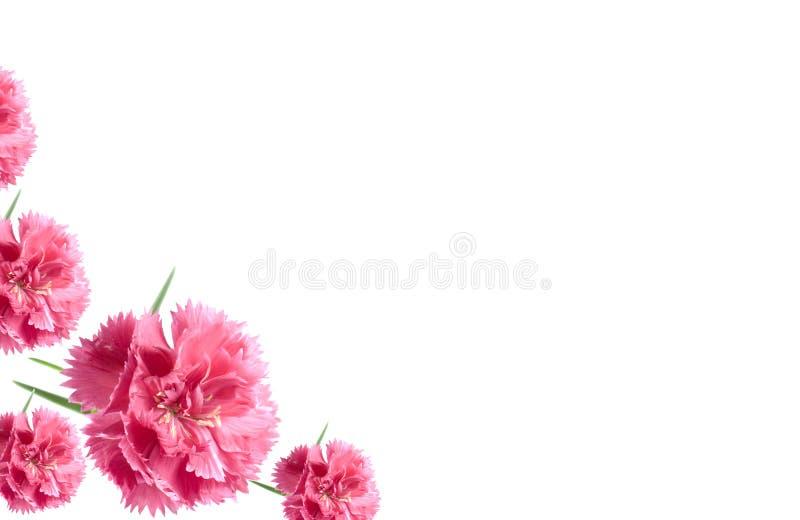 Il biglietto di S. Valentino fiorisce i garofani di colore rosa della priorità bassa della scheda fotografie stock libere da diritti
