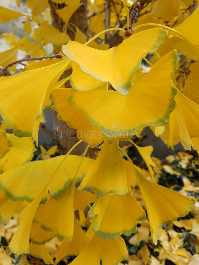 Il biloba giallo-Ginko lascia verde bordato - rami della foglia dell'albero fotografie stock
