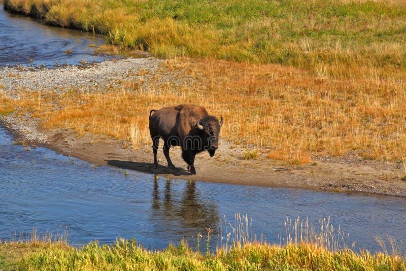 Il bisonte va su un posto di innaffiatura fotografia stock