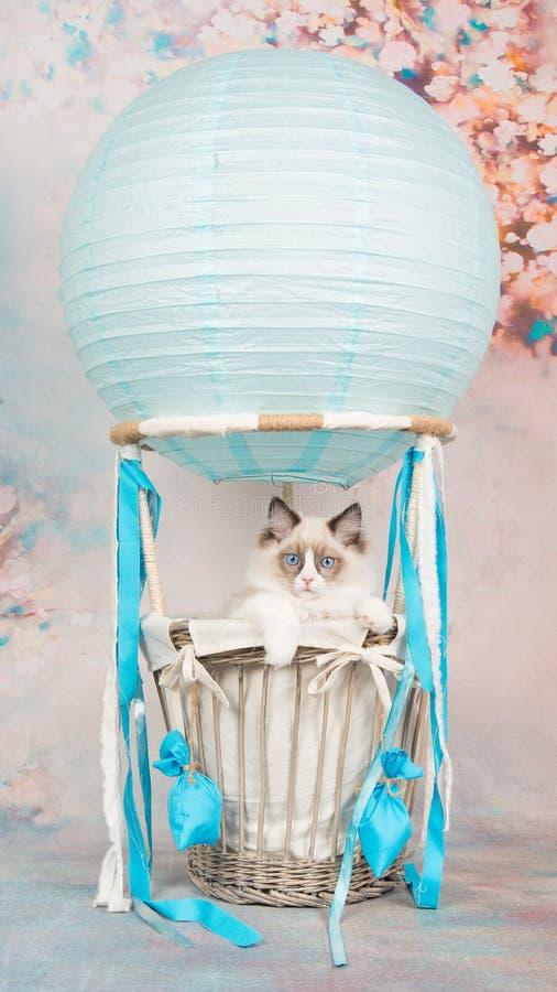 Il blu sveglio ha osservato il gatto del bambino del ragdoll in un aerostato blu su un fondo romantico fotografia stock libera da diritti