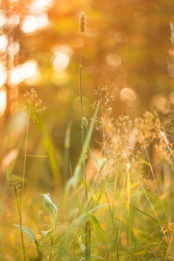 Il bokeh astratto ha offuscato il fondo della natura con erba selvatica e le piante al sole fotografia stock