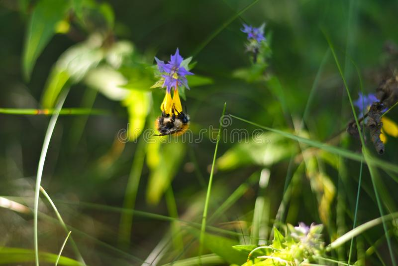 Il bombo appende sul fiore giallo sottosopra e mangia il polline su un prato immagine stock libera da diritti