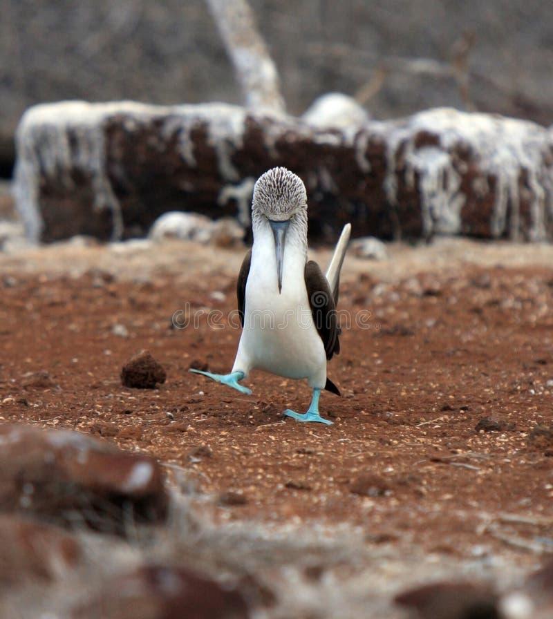 Il booby footed blu del Galapagos eyes fuori dal compagno immagini stock libere da diritti