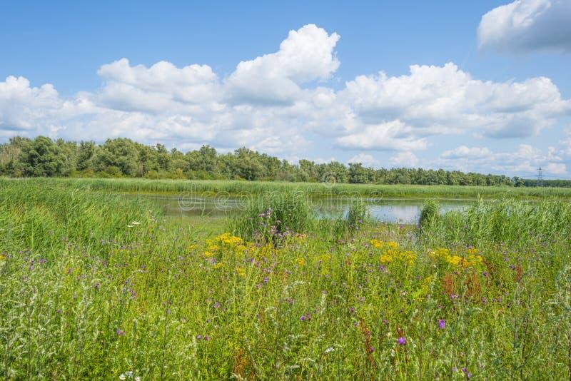 Il bordo di uno stagno con la canna in un campo erboso verde sotto un cielo blu nuvoloso al sole immagini stock