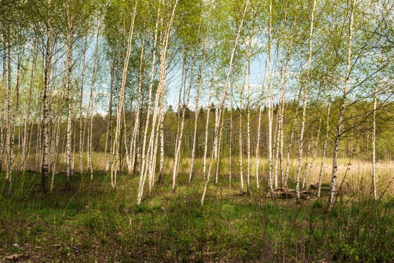 Il boschetto della betulla con i giovani alberi sottili, la corona consiste di piccoli rami e le foglie, nella distanza possono e fotografia stock