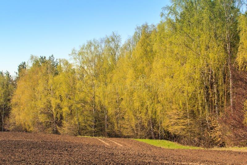 il boschetto della betulla della molla vicino ha arato il campo contro cielo blu immagine stock