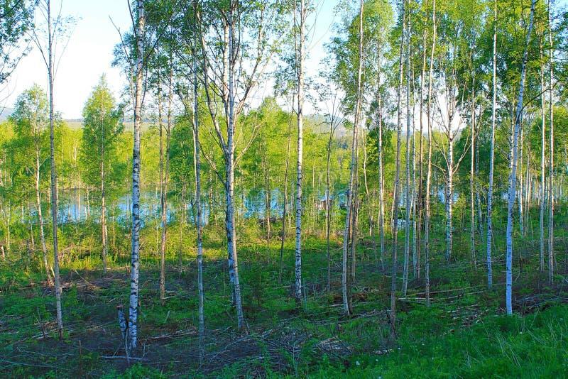 il boschetto di verde del fogliame della betulla può fotografia stock