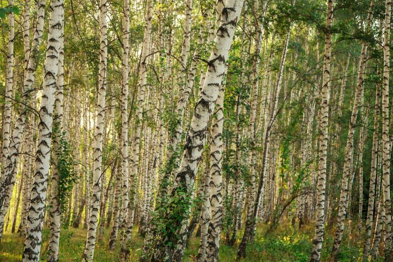 il boschetto di verde del fogliame della betulla pu? fotografie stock libere da diritti