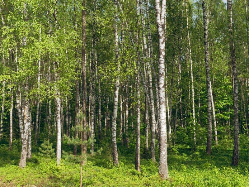 il boschetto di verde del fogliame della betulla pu? tronchi di albero bianchi su un fondo verde immagine stock libera da diritti