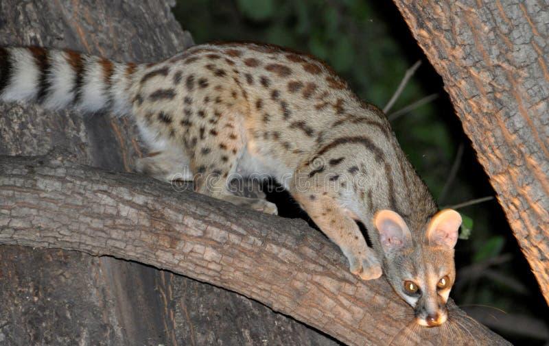 Il Botswana: Animale selvaggio e notturno africano, specie in pericolo di estinzione immagini stock libere da diritti