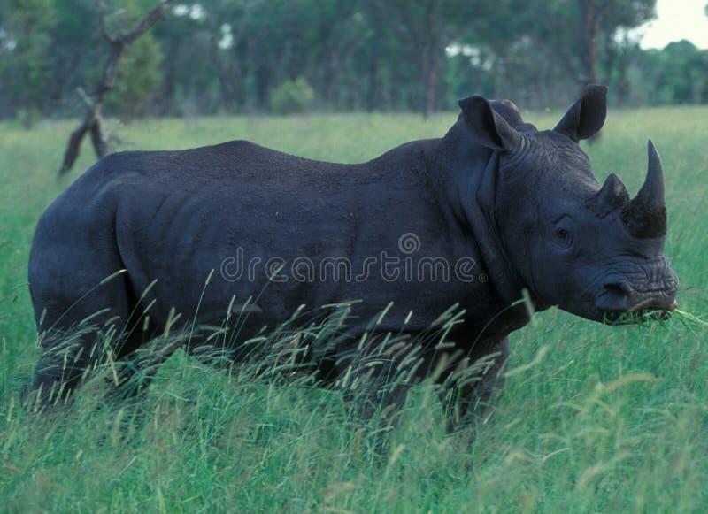 Il Botswana: Un rinoceronte nella regione selvaggia fotografia stock