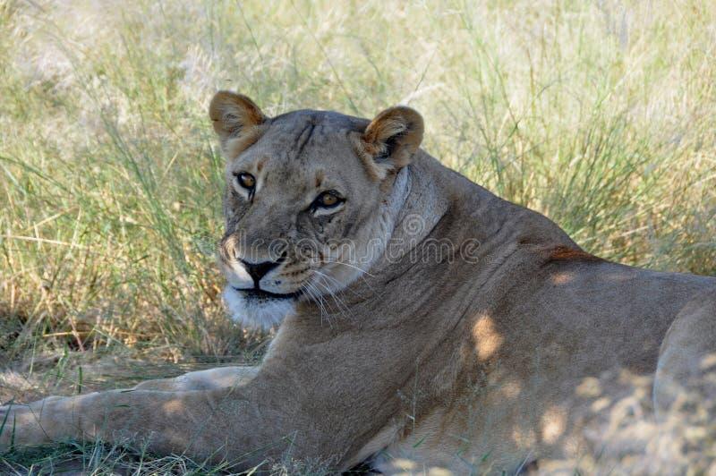 Il Botswana: Una leonessa pigra che si trova nell'erba della Kalahari fotografia stock libera da diritti