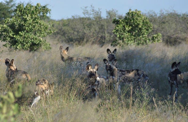 Il Botswana: Wilddogs sta bighellonando come i pupets ma è cacciatore pericoloso fotografia stock libera da diritti