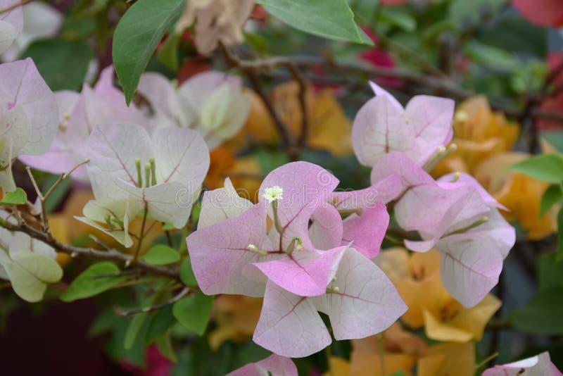 Il bouganvilla di carta di Flower fotografie stock