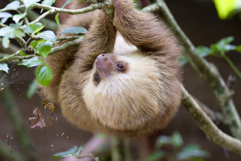 Il bradipo due-piantato immagine stock