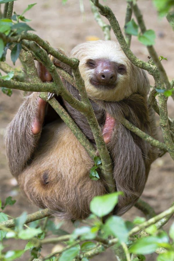 Il bradipo due-piantato fotografia stock