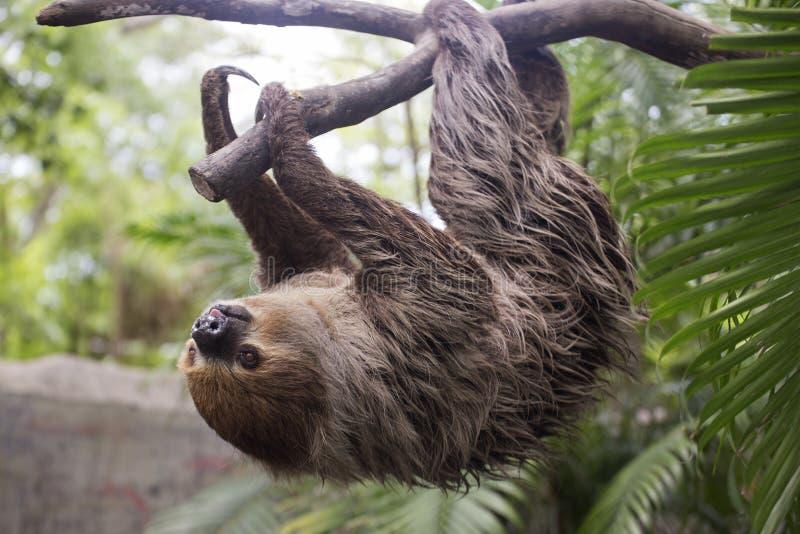 Il bradipo due-piantato di giovane Hoffmann sull'albero fotografia stock libera da diritti