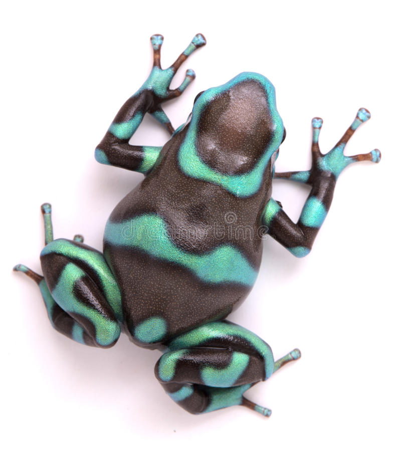Il bronzo di auratus di Dendrobates della rana del dardo del veleno morph fotografia stock libera da diritti