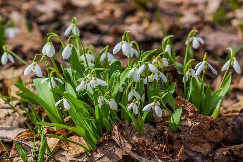 Il bucaneve bianco della prima molla fiorisce su una terra immagini stock