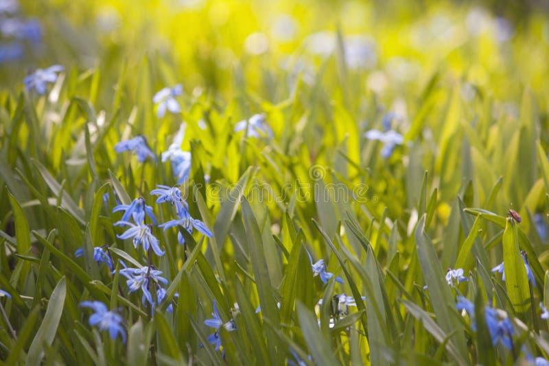 Il bucaneve i primi fiori della molla immagine stock